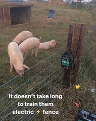 #pigs #localfarm #familyfarm #discoversc