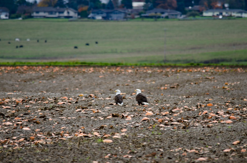 Skagit Valley Birds-14