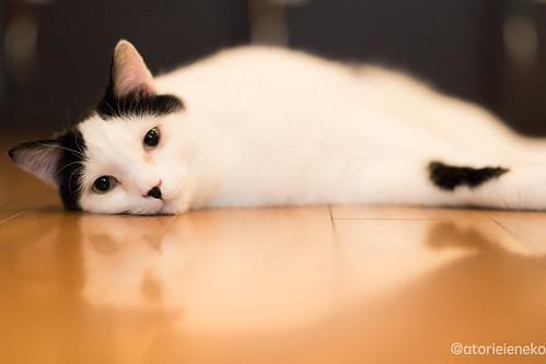 アトリエイエネコ Cat Photographer 25666171798_583b3e83b3 1日1猫! 猫カフェみーちゃ・みーちょに行ってきました!その1 1日1猫!  里親様募集中 猫写真 猫 子猫 大阪 写真 保護猫カフェ 保護猫 スマホ カメラ みーちゃ・みーちょ Kitten Cute cat