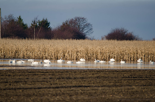 Trumpeter Swans-003