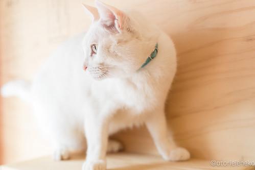 アトリエイエネコ Cat Photographer 38364600135_f4437d85b5 1日1猫!里親様募集中のしお君です! 1日1猫!  里親様募集中 白猫 猫 大阪 保護猫 ニャンとぴあ cat