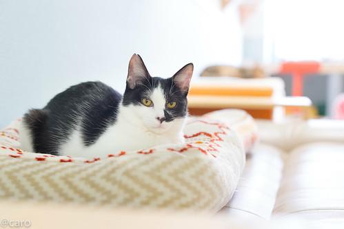 アトリエイエネコ Cat Photographer 39357838482_804b99b085 保護猫カフェ・カーロ