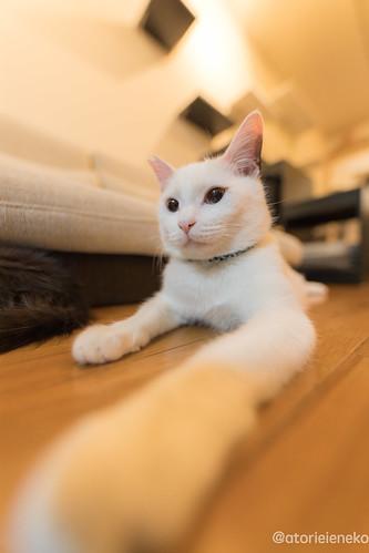 アトリエイエネコ Cat Photographer 27760645559_4fb1c125d8 1日1猫!保護猫カフェみーちゃ・みーちょさんに行ってきました。 その2 1日1猫!