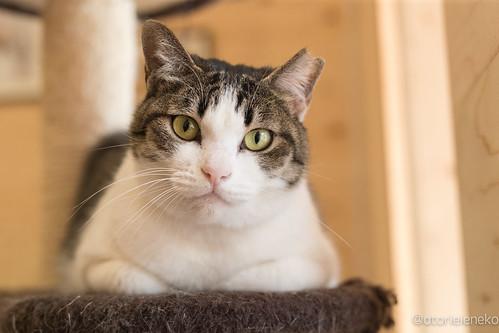 アトリエイエネコ Cat Photographer 38364583385_e13652980f 1日1猫!保護猫とカフェニャンとぴあ 1日1猫!  里親様募集中 猫 保護猫 ニャンとぴあ cat