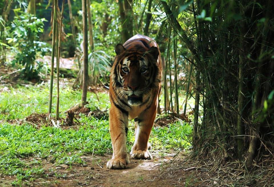 Bengal Tiger - Cebu Safari & Adventure Park