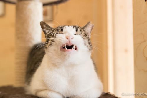 アトリエイエネコ Cat Photographer 38364586195_1874b52ac3 1日1猫!保護猫とカフェニャンとぴあ 1日1猫!  里親様募集中 猫 保護猫 ニャンとぴあ cat