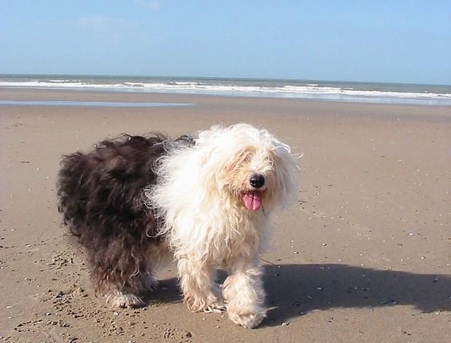 Honden op het strand aan de Belgische kust
