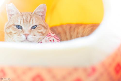 アトリエイエネコ Cat Photographer 25517899948_63b0257f08 保護猫カフェ・カーロ