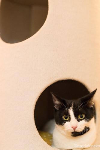 アトリエイエネコ Cat Photographer 38827913774_23bc8d0957 1日1猫!保護猫カフェみーちゃ・みーちょさんに行ってきました。 その2 1日1猫!