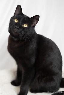 アトリエイエネコ Cat Photographer 25391092728_d5655169e5_n 黒猫を黒く撮影する必要はありません。 里親募集のための写真術  里親様募集中 猫写真 猫 子猫 大阪 初心者 写真 保護猫 スマホ カメラ Cute cat