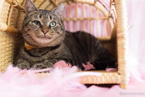 アトリエイエネコ Cat Photographer 39419504321_4f863ef997 1日1猫!高槻ねこのおうち 里親様募集中のめあこちゃんです♬ 1日1猫!  高槻ねこのおうち 里親様募集中 猫写真 猫 写真 保護猫 Kitten Cute cat