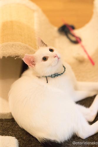アトリエイエネコ Cat Photographer 25666153028_850009798a 1日1猫!保護猫カフェみーちゃ・みーちょさんに行ってきました。 その2 1日1猫!
