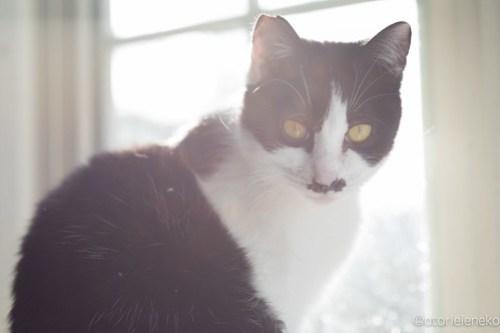 アトリエイエネコ Cat Photographer 25475796587_c602b750d3 1日1猫!高槻ねこのおうち 里親様募集中のチョビ助♪ 1日1猫!  高槻ねこのおうち 里親様募集中 猫写真 猫 子猫 大阪 写真 保護猫 カメラ Kitten Cute cat