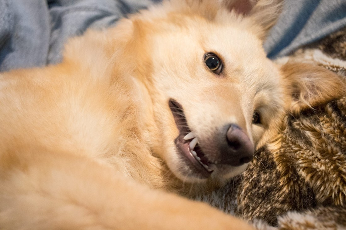 Nellie-showing-her-puppy-teeth