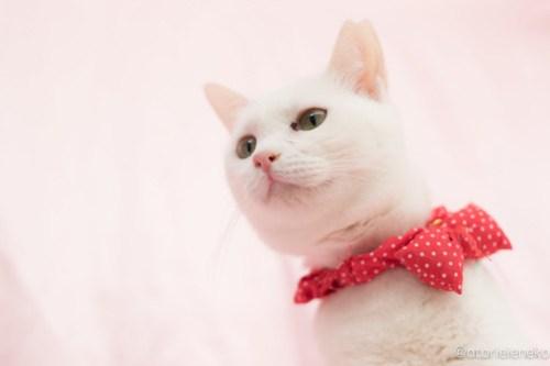 アトリエイエネコ Cat Photographer 25225074887_1da18acfba 1日1猫!高槻ねこのおうち 里親様募集中のゆきちゃん♪ 1日1猫!  高槻ねこのおうち 里親様募集中 白猫 猫写真 猫 大阪 写真 保護猫 カメラ Kitten Cute cat