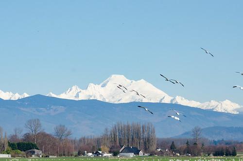 Fir Island Snow Geese-021