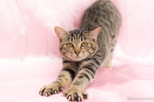 アトリエイエネコ Cat Photographer 40064090682_280d38d366 1日1猫!高槻ねこのおうち 里親様募集中りぼんちゃん🎶 1日1猫!  高槻ねこのおうち 里親様募集中 猫写真 猫 子猫 大阪 写真 キジ猫 Kitten Cute cat