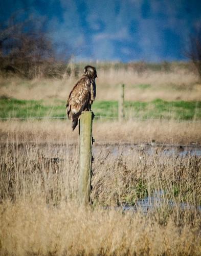 Skagit Morning Birds-26