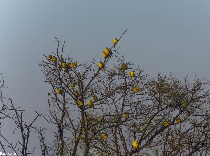 Yellow-footed green pigeon (Treron phoenicoptera)