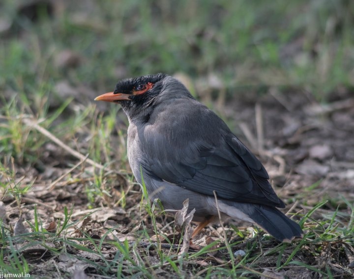Common myna. (Acridotheres tristis) One with yellow patch behind eye is more common