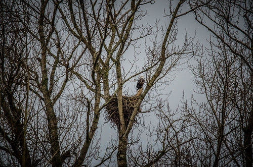 Eagles in Skagit Valley-011