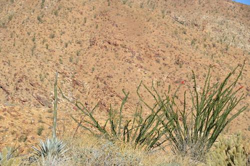 Borrego Springs - Ocatillo and agave stock