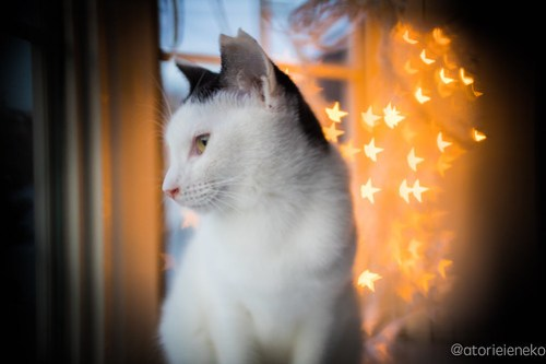 アトリエイエネコ Cat Photographer 40339994331_bd9f8a9a4b 1日1猫!高槻ねこのおうち 里親様募集中のかっぱちゃん♪ 1日1猫!  高槻ねこのおうち 里親様募集中 猫写真 猫 子猫 大阪 写真 保護猫 ハチワレ Kitten Cute cat