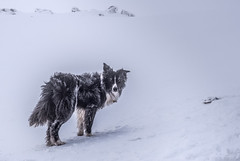 Artic Collie