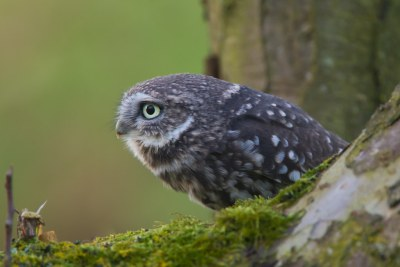 D38K1740 Steenuil, Little Owl, Athena noctua.
