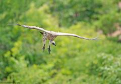White-backed Vulture, Gyps africanus, Victoria Falls, Zimbabwe