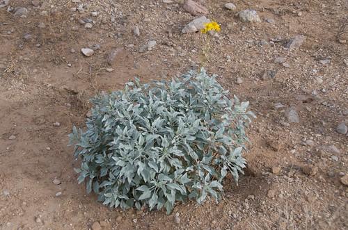 BGAFR - desert foliage with yellow flower
