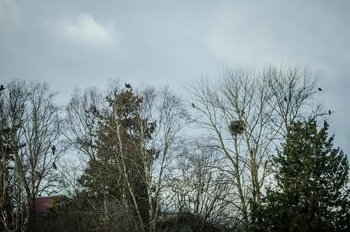 Eagles in Skagit Valley-015