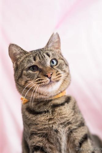 アトリエイエネコ Cat Photographer 39419510631_1cd8490b08 1日1猫!高槻ねこのおうち 里親様募集中のめあこちゃんです♬ 1日1猫!  高槻ねこのおうち 里親様募集中 猫写真 猫 写真 保護猫 Kitten Cute cat