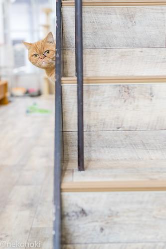 アトリエイエネコ Cat Photographer 39387419611_fd6775f7a9 譲渡型猫CAFEねこの木