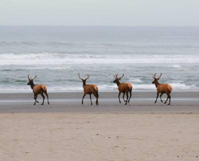 oregon coast elk