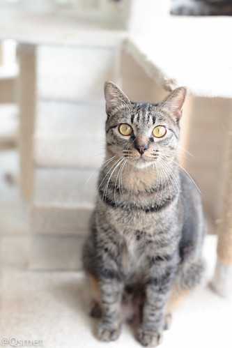 アトリエイエネコ Cat Photographer 39387658281_57237c7b24 シェルター型幸せ探し猫カフェQsmet(くすめっと)