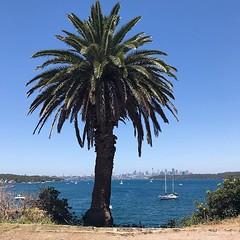 #summer under a #palmtree @sydney @visitnsw @australia #ilovesydney #sydney #summer #newsouthwales #wanderlust #travel #australia #seeaustralia #sydneyfolk #australiagram #sydneytravel #travel #guardiantravelsnaps #guardiancities #lonelyplanet #sydneylife