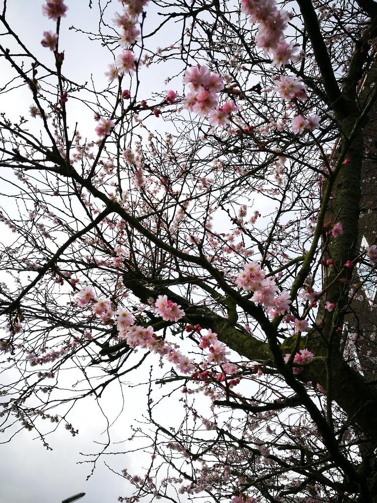 tammikuun_kirsikankukat