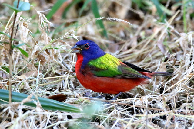 PAINTED BUNTING - Was Blessed to watch this little jewel for 10 minutes nonchalantly feeding on the ground 12 feet away. Circle B Bar Reserve, Lakeland, Florida