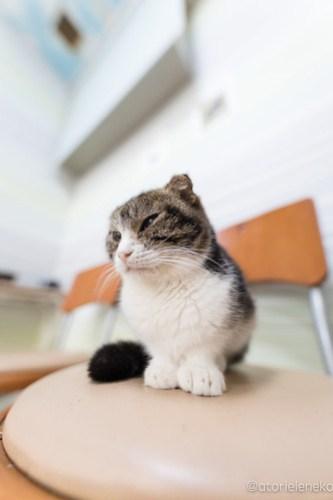 アトリエイエネコ Cat Photographer 26485459928_164dfb1488 1日1猫!猫カフェきぶん屋さんに行ってきました♪(2/3) 1日1猫!  里親様募集中 猫写真 猫カフェ 猫 子猫 大阪 兵庫 保護猫カフェ 保護猫 カメラ きぶん屋 Kitten Cute cat