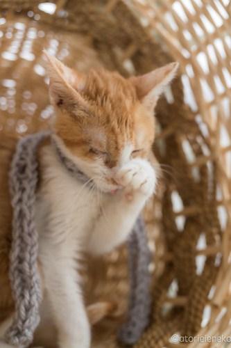 アトリエイエネコ Cat Photographer 39246990774_fe9b51852d 1日1猫!高槻ねこのおうち 里親様募集中のルルちゃん♪ 1日1猫!  高槻ねこのおうち 里親様募集中 猫写真 猫 子猫 大阪 写真 保護猫 Kitten Cute cat