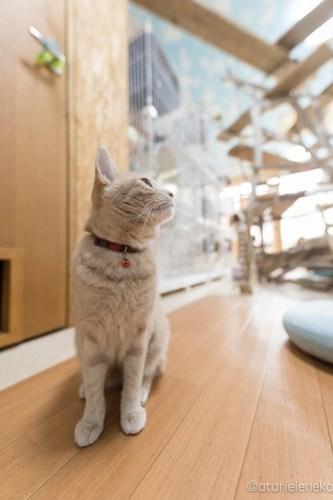 アトリエイエネコ Cat Photographer 39459270335_7bab995756 猫カフェきぶん屋