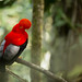 Andean Cock of the Rock (Rupicola peruvianus) perched on a branch in the rainforest