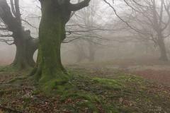 Niebla en el hayedo