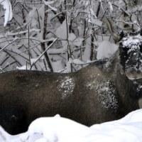 Elg / Moose