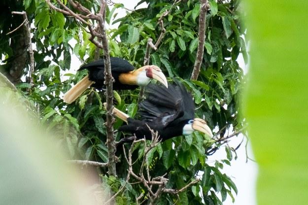 Hornbills on Waigeo Island