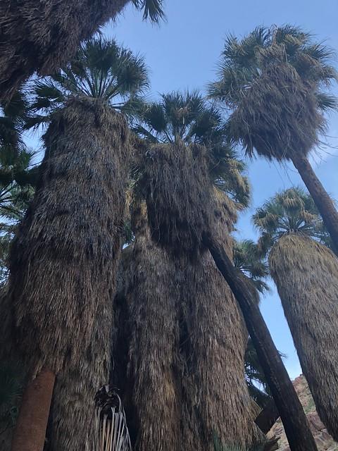 Borrego Springs - the big palms
