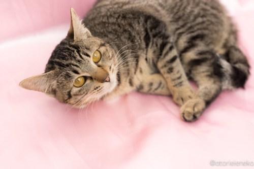アトリエイエネコ Cat Photographer 40064091812_5a2115eca9 1日1猫!高槻ねこのおうち 里親様募集中りぼんちゃん🎶 1日1猫!  高槻ねこのおうち 里親様募集中 猫写真 猫 子猫 大阪 写真 キジ猫 Kitten Cute cat