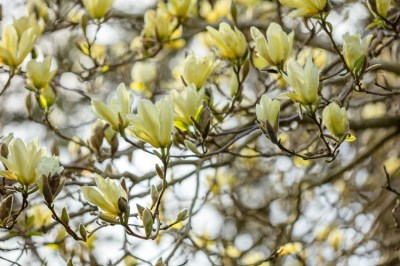yellow magnolia tree