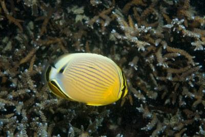 Moon and stars - Chaetodon lunulatus Butterflyfish #marineexplorer